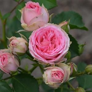 Саженец розы Мими Эден