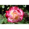 Саженец розы мини Дабл Делайт: фото и описание
