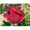 Саженец розы Мистер Линкольн: фото и описание