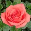 Саженец чайно-гибридной розы Муви Стар: фото и описание