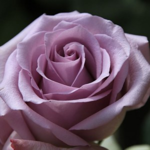 Саженец розы Ocean Song (Оушен Сонг)