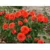 Саженец розы Оранж Бейби: фото и описание