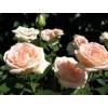 Саженец розы Осиана: фото и описание