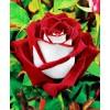 Саженец розы Осирия: фото и описание