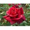 Саженец розы Папа Мейян: фото и описание