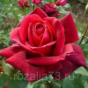 Саженец розы Папа Мейян