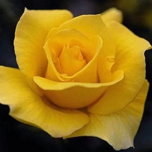 Саженец чайно-гибридной розы Папилон