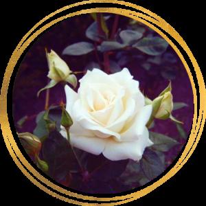 Саженец розы Паскаль