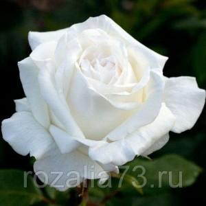 Саженец розы Пьер Ардити