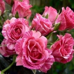 Саженец розы Pink Flash (Пинк флеш)