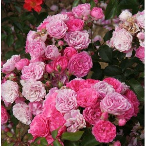 Саженец розы Пинк Флорилэнд