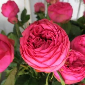 Саженец розы Пинк Пиано