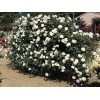 Саженец плетистой розы Айсберг Клаймбинг: фото и описание