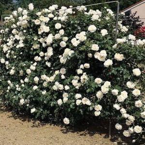 Саженец плетистой розы Айсберг Клаймбинг