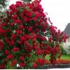 Саженец плетистой розы Бельканто: фото и описание