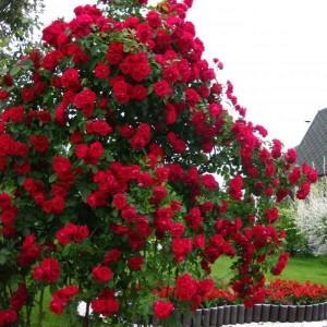 Саженец плетистой розы Бельканто