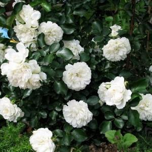 Саженец плетистой розы Блан Мейдиланд