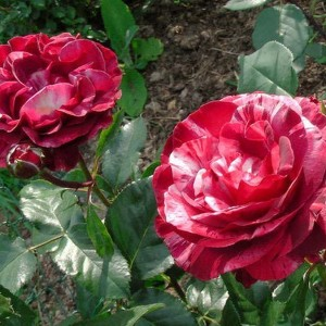 Саженец плетистой розы Брауни