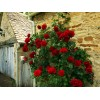 Саженец розы плетистая Черный Букет: фото и описание