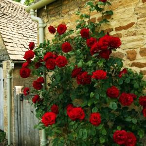 Саженец розы плетистая Черный Букет