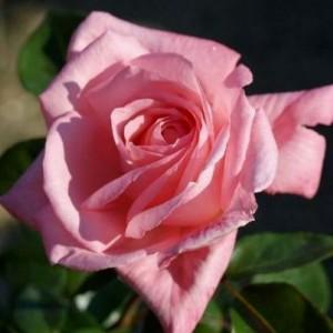 Саженец плетистой розы Дэнсин Куин