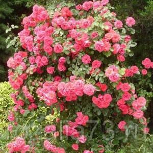 Саженец плетистой розы Девичьи грёзы