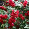 Саженец плетистой розы Фламментанц: фото и описание