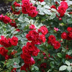 Саженец плетистой розы Фламментанц