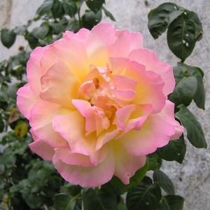 Саженец плетистой розы Глория Дэй