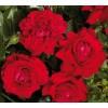 Саженец плетистой розы Гранд Эвод: фото и описание