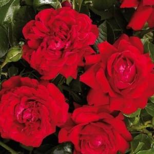 Саженец плетистой розы Гранд Эвод