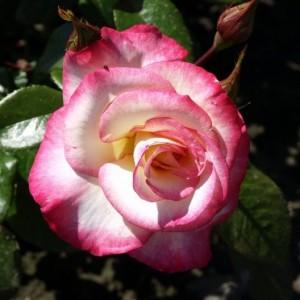 Саженец плетистой розы Хендель