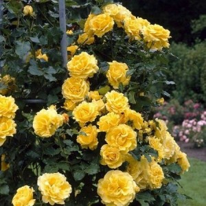 Саженец плетистой розы Казино