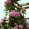 Саженец плетистой розы Крылья Ангела: фото и описание