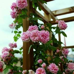 Саженец плетистой розы Крылья Ангела