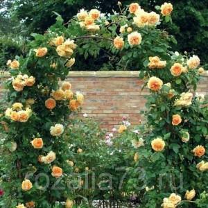 Саженец плетистой розы Мишка