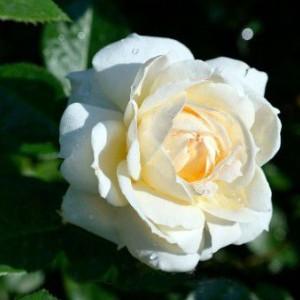 Саженец плетистой розы Монд Жарден