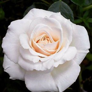 Саженец плетистой розы Пенни Лэйн