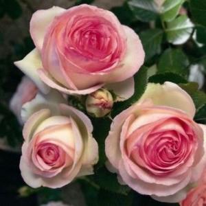 Саженец плетистой розы Пьер де Ронсар