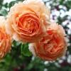 Саженец плетистой розы Полька: фото и описание