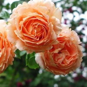 Саженец плетистой розы Полька