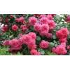 Саженец плетистой розы Саженец розыриум Ютерзен: фото и описание