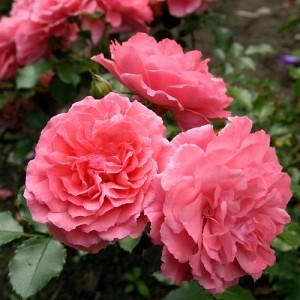 Саженец плетистой розы Саженец розыриум Ютерзен