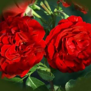 Саженец плетистой розы Сантана