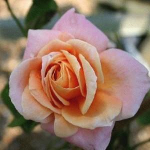 Саженец плетистой розы Скугёрл
