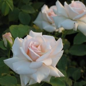 Саженец плетистой розы Сван Лейк