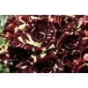 Саженец плетистой розы Тигровая: фото и описание