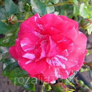 Саженец плетистой розы Твист