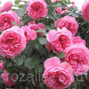Саженец плетистой розы Жасмина