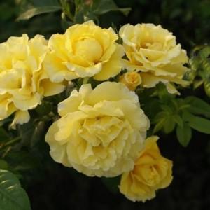 Саженец плетистой розы Золотой Олимп